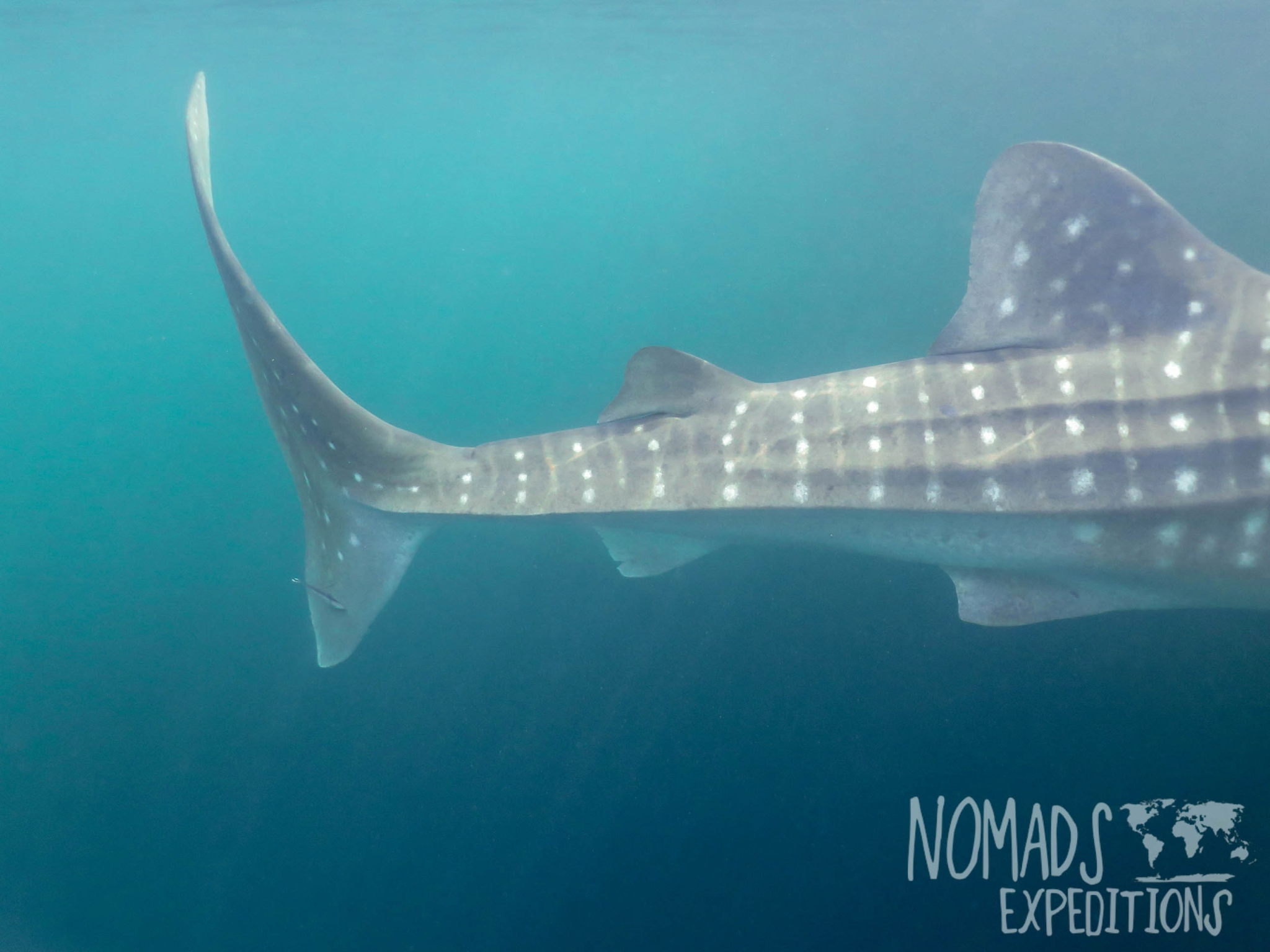adventure swim with whale sharks cenderawasih bay nabire papua