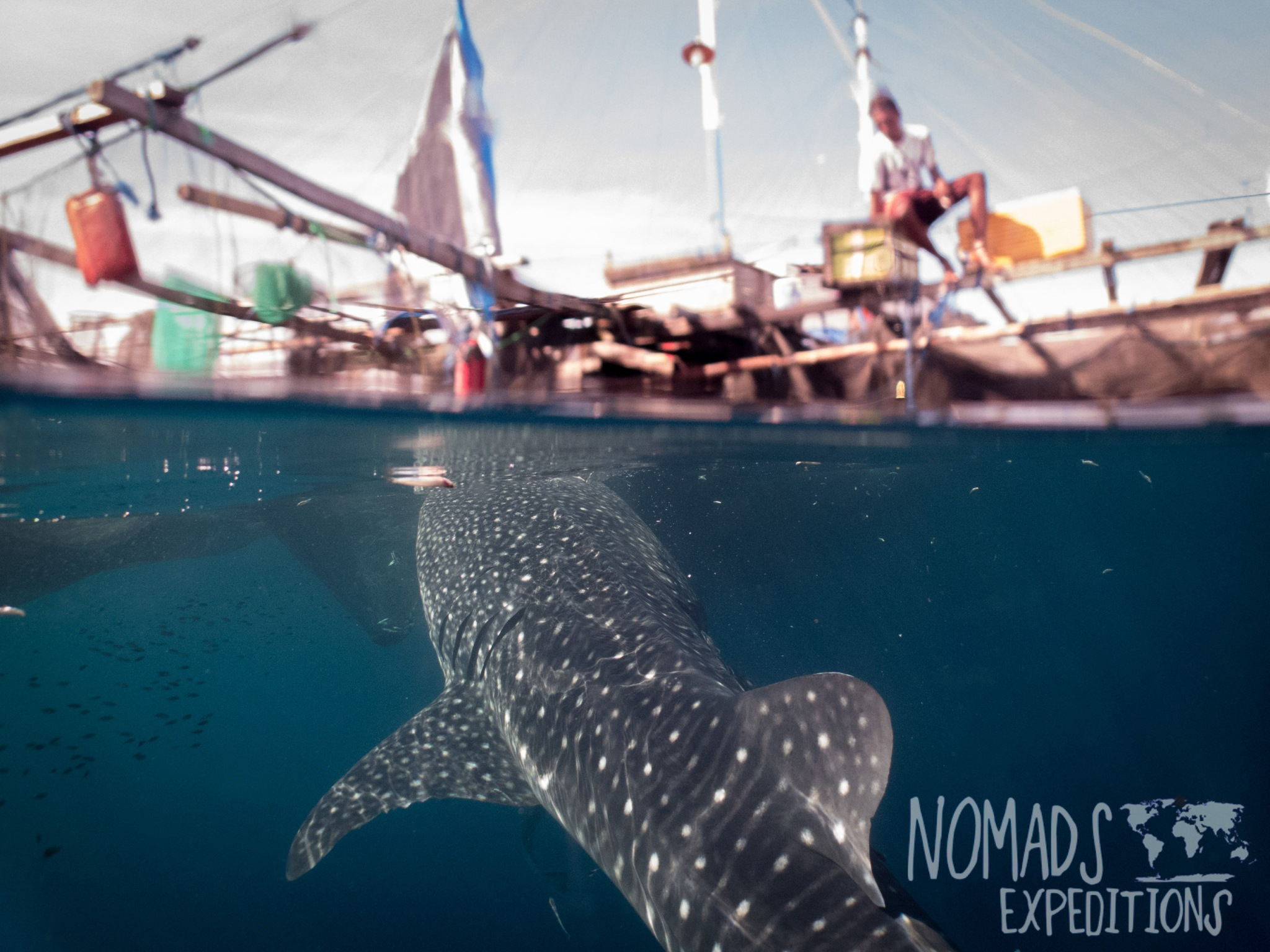 adventure swim with whale sharks cenderawasih bay nabire papua kwatisore